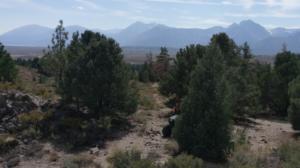 Pine nut groves, Pinyon