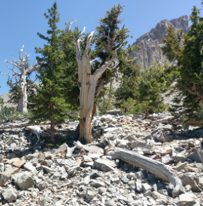the oldest living thing Bristlecone Pine trees