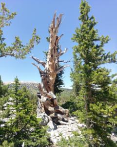 Dead Bristle Cone Pine