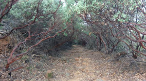 Tunnel through the Manzanita